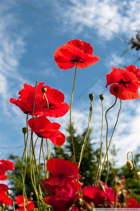 vancouver poppies  hd desktop wallpaper   ultra hd
