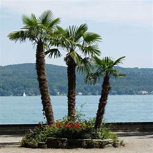 Bilder Von Palmen : palmen auf der mainau bild foto von alexandra titze aus palmen fotografie 12052833 ~ Frokenaadalensverden.com Haus und Dekorationen