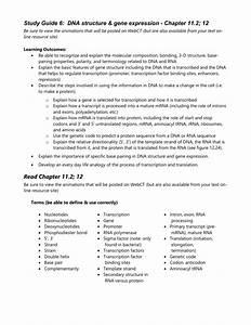 Study Guide 6  Dna Structure  U0026 Gene Expression