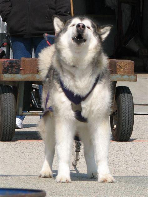 working dog rules  applications alaskan malamute club