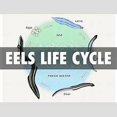 Eels Life Cycle By Sean Tohi