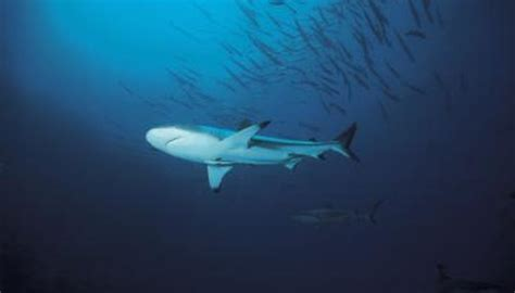sharks fast swimmers animals momme
