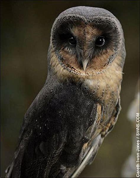 Barn Owl Malaysia by News Black Barn Owl Malaysia Bird Forum