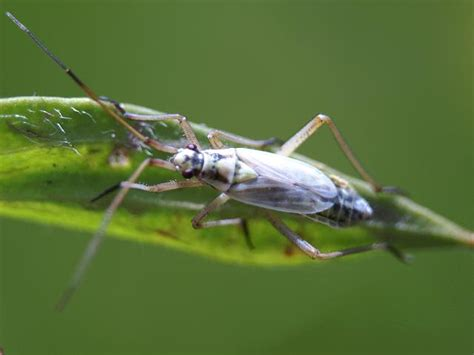 grass bugs pictures leptopterna dolabrata a grass bug true bugs heteroptera images