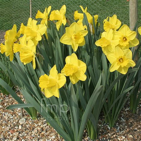 plant pictures narcissus lucky number daffodil
