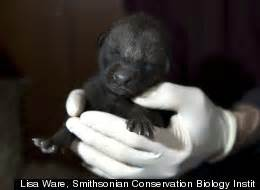Maned Wolf Pups Born At Smithsonian Conservation Biology ...