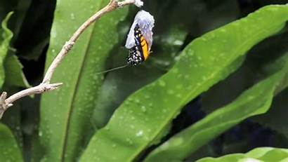 Butterfly Monarch Insectos Gifs Emerging Macro Chrysalis