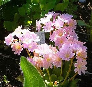 lewisia lewisia cotyledon garden org