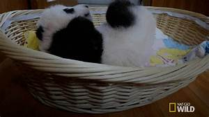 Baby Panda GIFs - Find & Share on GIPHY