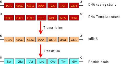 template vs coding strand garmin software mrna sequence