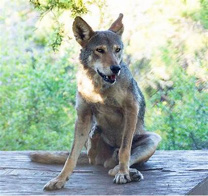 Wolf Animals Facts Wildlife Fossil Quick