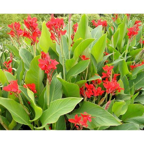 Floare Canna Indica