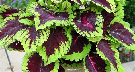 pianta da terrazzo piante verdi da balcone piante da terrazzo piante