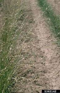 loose smut (Ustilago avenae ) on mountain brome (Bromus ...