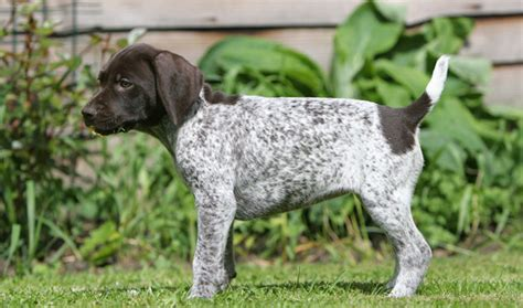 German Shorthaired Pointer Shedding by German Shorthaired Pointer Breed Information