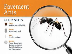 Imported Red Ants Archives - Allied Pest Solutions