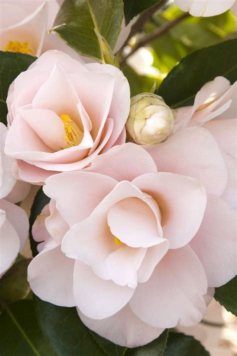 are camellia flowers edible 17 best images about camellia flowers on pinterest gardens winter flowers and edible oil