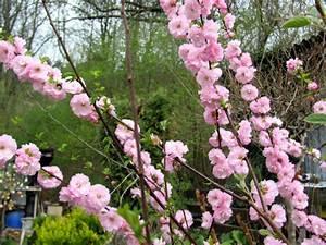 Wann Schneidet Man Apfelbäume : mandelbaum mandelb umchen mandelstrauch gartenratgeber ~ Lizthompson.info Haus und Dekorationen