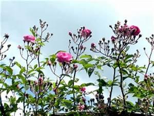 Hortensien Vermehren Durch Stecklinge : rosen vermehren durch stecklinge ~ Lizthompson.info Haus und Dekorationen