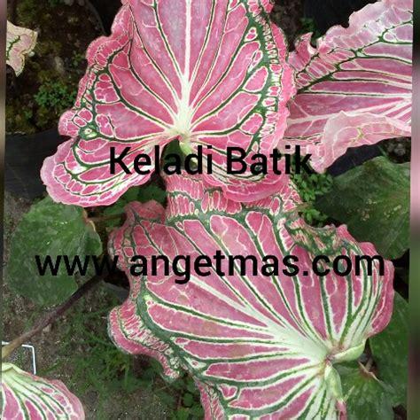 tanaman bunga keladi batik keladi hias batik anget mas