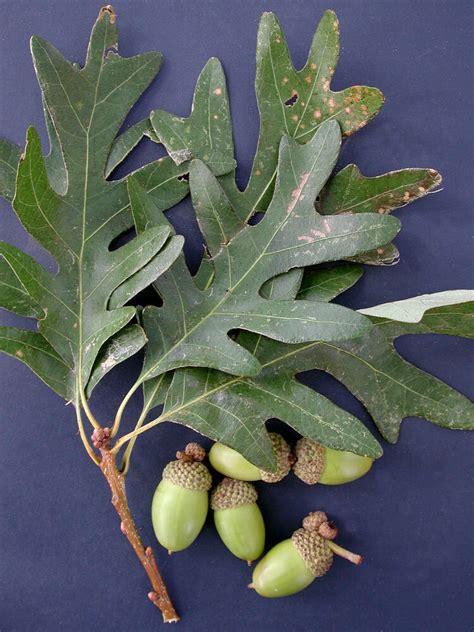 white oak quercus alba virginia native plant society