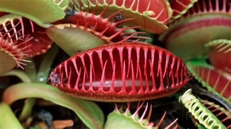 fleischfressende pflanzen repräsentative arten fleischfressende pflanzen pflegen ndr de ratgeber