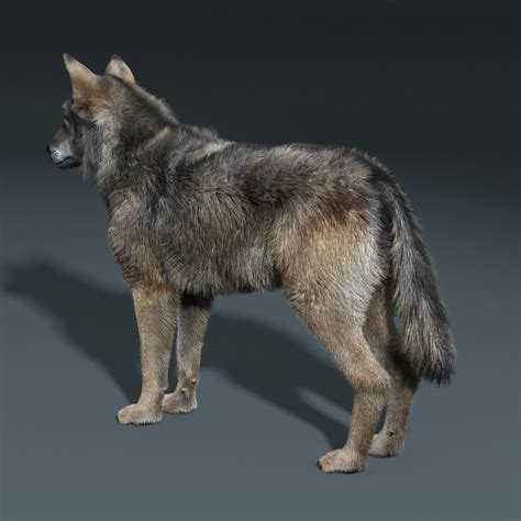 gray wolf fur rigged  model animated rigged max obj