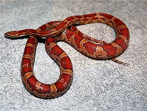 Corn Snakes For Sale 2016