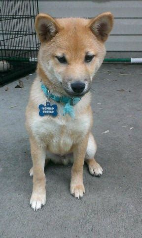 Subreddit for anything related to shiba inus. Red Shiba Inu pup for Sale in Jacksonville, Florida ...