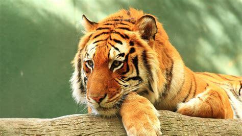 wallpaper tiger rest hd  animals  wallpaper