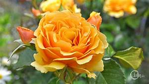 Gelbe Rose Bedeutung : deutschland bickenbach blumen und bl ten gelbe rose ~ Whattoseeinmadrid.com Haus und Dekorationen