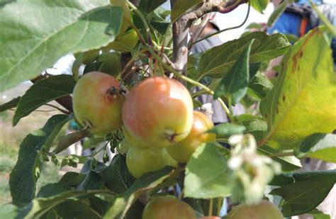 China waging battle to save ancient wild apple trees ...