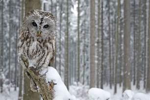 Snowy Owl Spirit Animal