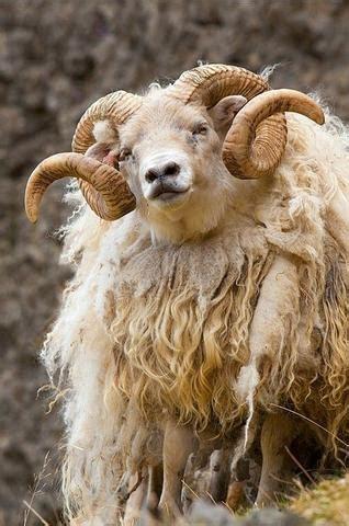 icelandic lopi knitting yarn  woolly thistle
