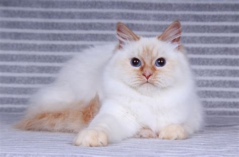 Kittens For Sale || Siberian Cats Of Ct