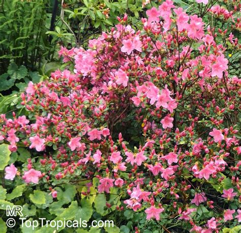 rhododendron trees for sale rhododendron sp azalea sp rhododendron toptropicals com