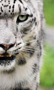 Animal White Tiger | wallpaper.sc iPhoneXS