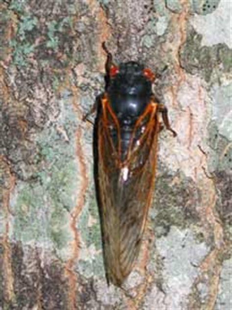 brood   coming  st  seceda bugs whats  bug