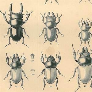 1885 Art Print Scarab Beetles Odontolabis Coleoptera