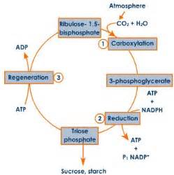 Photosynthesis Diagram Worksheet Answers What Are C4 And C3 Pathways Plz Explain In Detail Meritnation Com