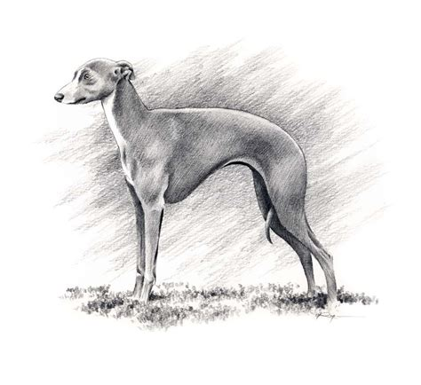 foto de ITALIAN GREYHOUND Dog Art Print Signed by Artist by