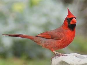 Cardinal wallpaper | wild birds | Wild Animal and Birds