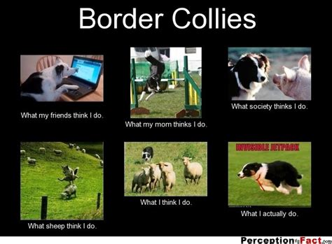 Border Collie Meme - border collies what people think i do what i really do perception vs fact cute dog