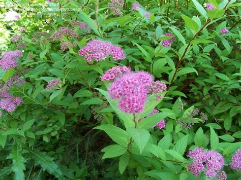 green shrub with pink flowers plant identification closed please id deciduous bush green leaves pinkish grey buds 1 by