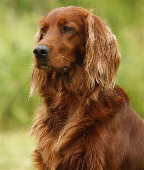 irish setter beautiful dog dog breeds pinterest