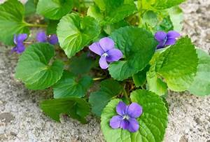 Viola sororia (Common Blue Violet)