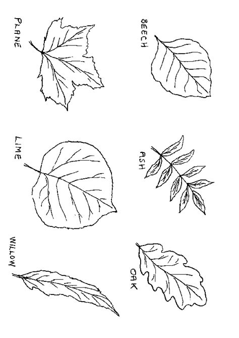 Leaf Anatomy Coloring Key by Leaf Anatomy Key Coloring Sheet Coloring Pages