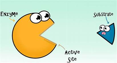 Enzyme Substrate Gifs Enzymes Active Site Reactions
