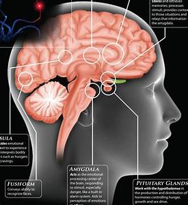 The Brain  A User U0026 39 S Guide To Emotions  Infographic
