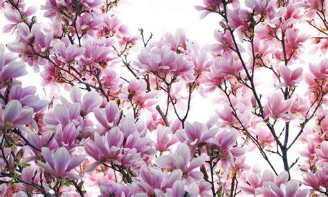 magnolia backgrounds